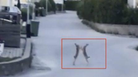 Vede due conigli in strada, quello che fanno la lascia senza parole