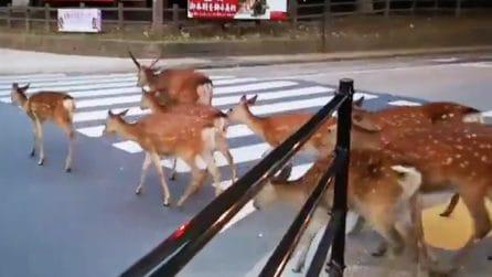 La città in cui i cervi sono liberi di passeggiare per strada ed entrare nei negozi