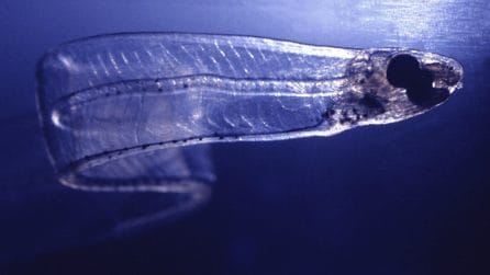 Quasi impossibile avvistarlo, si possono vedere gli organi interni: il pesce completamente trasparente