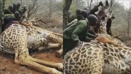 Vittima di una trappola dei bracconieri, provano a salvare la giraffa: l'atto eroico