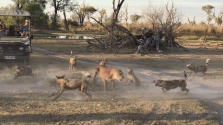 La leonessa è pronta a tutto per salvare il suo cucciolo: affronta così 20 iene
