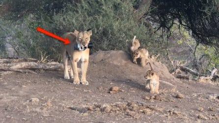 Un oggetto insolito finisce nelle fauci della leonessa: le immagini del bizzarro incidente