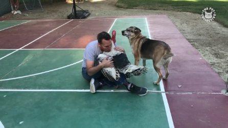 Il padrone abbraccia un grosso tacchino provocando la reazione del cane