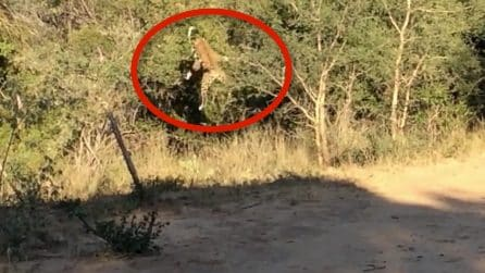Qualcosa si muove nei cespugli, il leopardo fa un balzo felino pazzesco