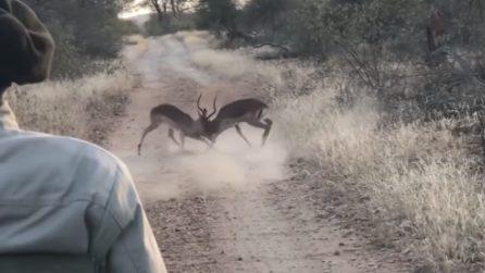 Due impala lottano brutalmente: arriva il ghepardo a interrompere il loro scontro