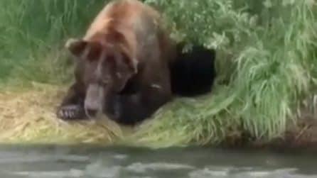 L'orso osserva con attenzione il fiume, poi lo scatto fulmineo