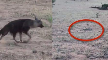La iena si avvicina silenziosa, ma il pericolo è imminente: la lotta per la vita