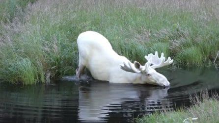 Sembrava un animale leggendario, invece viene avvistato mentre si fa un bagno in un fiume