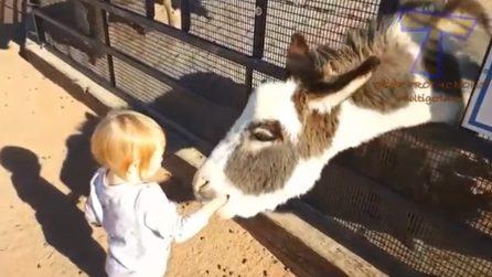 Vuole dare da mangiare all'asinello: l'animale afferra il braccio della bimba