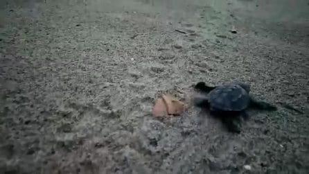 Cilento, 58 tartarughine percorrono i primi passi: le immagini emozionanti