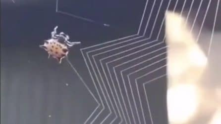 Lo spettacolo della natura: la telecamera in alta definizione mostra come un ragno fa la sua ragnatela