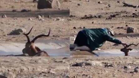 L'impala è intrappolato nel fango e lotta per la vita: il turista corre in suo soccorso