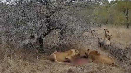 I leoni si stanno gustando la preda, ma vengono accerchiate dal branco di iene: lo scontro