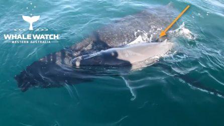 Tutto l'amore di una mamma: così la balena salva il suo cucciolo