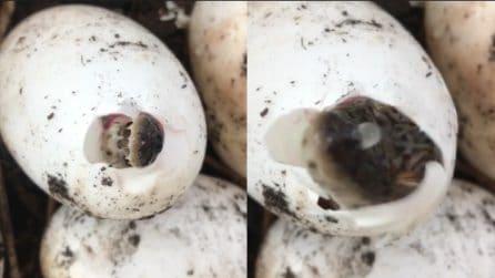 L'uovo inizia a schiudersi: l'emozionante nascita del coccodrillo