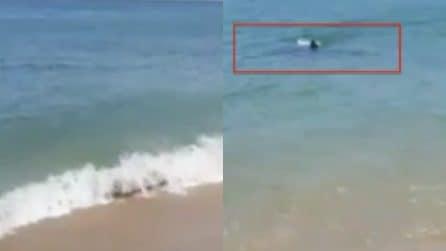 Enorme squalo bianco vicino alla riva: le urla dei bagnanti mettono i brividi