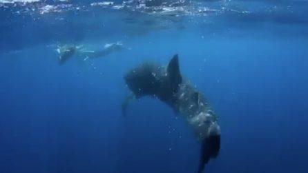 Viene circondato da uno squalo e una megattera: inizia ad urlare sott'acqua