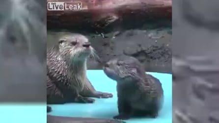 """""""È tempo che tu impari"""", la lontra insegna al suo cucciolo a nuotare"""