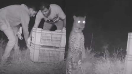 Il piccolo leopardo ha perso la mamma, lo mettono in una cesta: ciò che accade dopo è emozionante