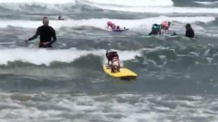 I cani salgono sulla tavola e cavalcano le onde: il campionato canino di surf