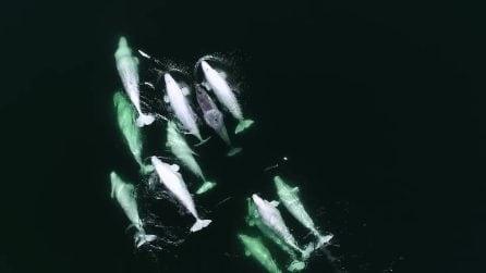 Branco di beluga adotta un narvalo solitario: le immagini spettacolari