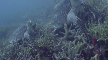 La tartaruga rimane incastrata con la zampa nei coralli: i pericoli negli abissi