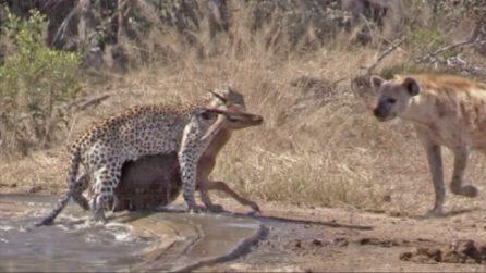 L'impala sta per essere divorato dal leopardo, ma una iena gli salva la vita