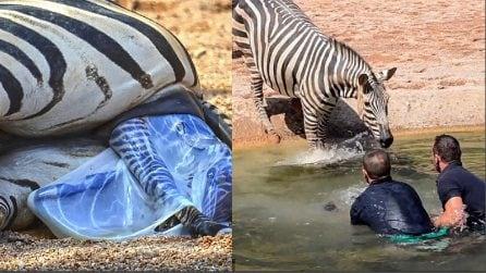 Il cucciolo di zebra appena nato rischia subito di morire: l'intervento die custodi dello zoo