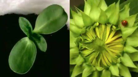 Come nasce e cresce un girasole: la bellissima esperienza in time lapse