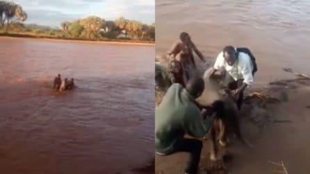 L'elefantino sta annegando nel fiume: corrono in suo soccorso per salvargli la vita
