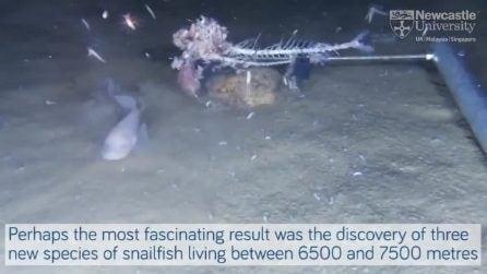 Scoperte tre nuove specie di pesci lumaca abissali: le immagini straordinarie