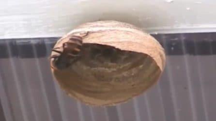 Un enorme nido prende forma sotto al soffitto: padrone di casa spia il calabrone gigante all'opera