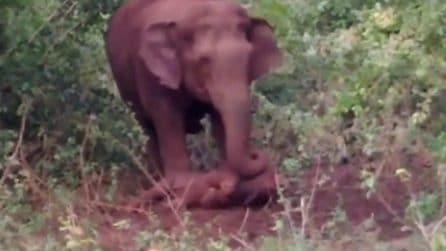 L'elefantino è nato morto, ma la mamma si rifiuta di abbandonarlo: la scena straziante