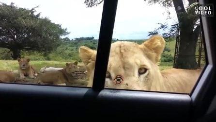 Il leone si avvicina all'auto e apre la portiera: terrore durante il safari