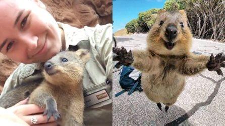 Allarme Quokka: l'animale più felice al mondo, potrebbe perdere il suo sorriso per colpa dell'uomo
