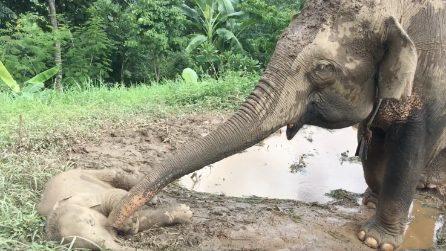 Il cucciolo è a terra: l'elefantessa si avvicina e nel suo gesto c'è tutto l'amore di una mamma