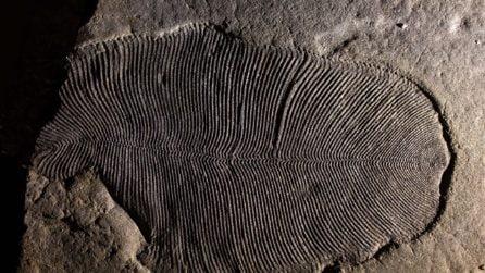 Scoperto il più antico animale vissuto sulla Terra: la Dickinsonia ha 558 milioni di anni