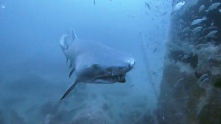 Faccia a faccia con uno squalo: l'incontro terrificante del sub