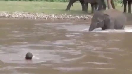 L'uomo viene trascinato via dalla corrente: l'elefante corre in suo soccorso