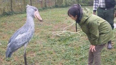 La turista si inchina davanti al maestoso 'becco a scarpa': la reazione dell'animale è sorprendente