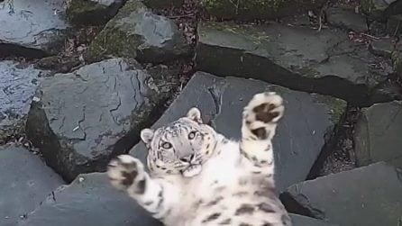 Il leopardo delle nevi si spaventa a morte e si agita: il motivo è esilarante