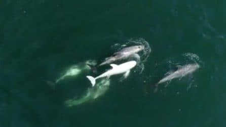 Avvistano dei delfini mentre nuotano, tra loro c'è un raro esemplare: le immagini sono spettacolari