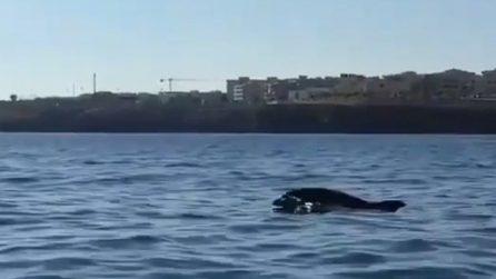 Lo spettacolo dei delfini incanta i turisti: ecco le immagini