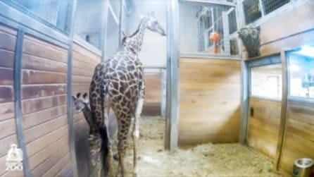 Sbuca all'improvviso e fissa la telecamera: la sorpresa ripresa allo zoo