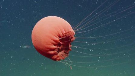 La medusa sparisce nell'acqua e si mimetizza: lo strano avvistamento negli abissi