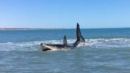 Un grosso squalo mette paura i bagnanti a riva: era a caccia di prede