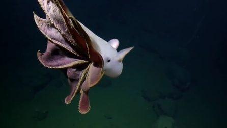 Un incontro subacqueo davvero particolare: il polpo con le orecchie