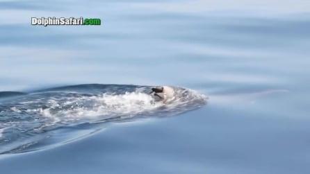 Lo struggente dolore di mamma delfino: porta sul dorso il cadavere del cucciolo suo cucciolo