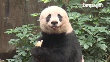 Addio a Jia Jia, il panda gigante più vecchio del mondo: muore a 38 anni