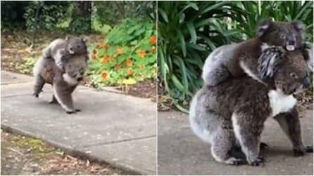 L'avvistamento più dolce che ci sia: mamma koala e il suo piccolo passeggiano in città